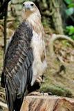 Eagle mit einer Beinhaltung Lizenzfreies Stockbild