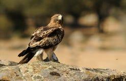 Eagle mit einer Taubenstraße vor kurzem gejagt lizenzfreie stockfotos