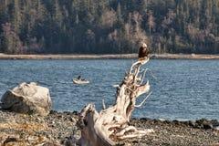 Eagle mit Fischer Lizenzfreie Stockfotografie