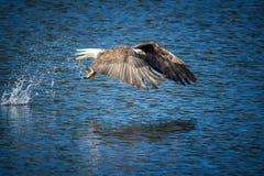 Eagle mit Flügeln fegte vorwärts nach Fang Stockfoto