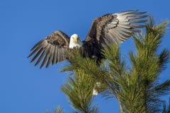 Eagle mit Flügeln verbreitete weit Stockfoto