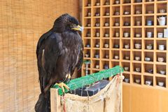 Eagle mit gelbem Hintergrund Lizenzfreie Stockfotos