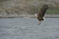 Eagle mit Opfer Stockbilder