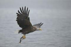 Eagle mit Opfer Lizenzfreie Stockfotos