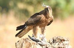 Eagle mit Opfer in den Greifern Lizenzfreie Stockfotografie