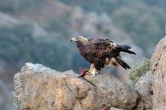 Eagle mit Opfer in seinen Greifern Stockfotos