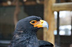 Eagle in the Moholoholo Wildlife Rehab Centre, South Africa Royalty Free Stock Image