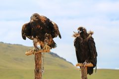 Eagle in mongolia Royalty Free Stock Photography