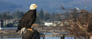 Eagle Mornings Image stock