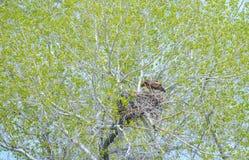 Eagle Mother Feeding Baby Eaglets de oro en jerarqu?a imagen de archivo libre de regalías