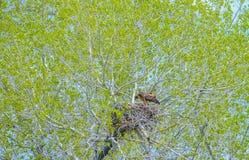 Eagle Mother Feeding Baby Eaglets de oro en jerarqu?a foto de archivo libre de regalías