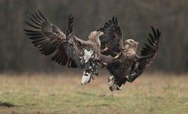 Eagle munito bianco Immagine Stock