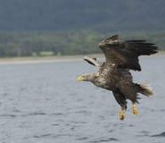 Eagle munito bianco Immagine Stock Libera da Diritti