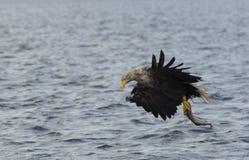 Eagle munito bianco Fotografia Stock Libera da Diritti