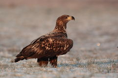 Eagle munito bianco Fotografia Stock