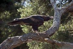 Eagle munito cuneo Fotografia Stock