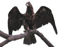 Eagle na gałąź z skrzydłami rozprzestrzenia odosobnionego nadmiernego biel Zdjęcia Stock