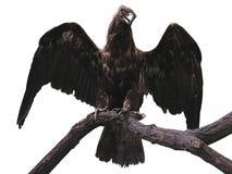 Eagle na gałąź z skrzydłami rozprzestrzenia odosobnionego nadmiernego biel Obrazy Stock
