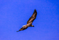 Eagle na mosca do céu azul alta com o rei orgulhoso do céu Fotos de Stock