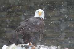 Eagle na neve Foto de Stock Royalty Free