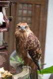 Eagle na tabela Foto de Stock Royalty Free