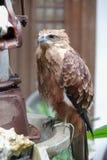 Eagle na tabela Foto de Stock