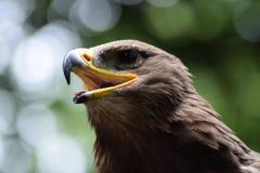 Eagle-Nahaufnahme Stockfotos