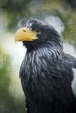 Eagle-Nahaufnahmeporträt Stockbilder