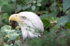 Eagle nas folhas fotografia de stock