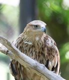 Eagle on the nature Royalty Free Stock Image
