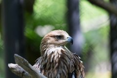 Eagle on the nature Royalty Free Stock Photo
