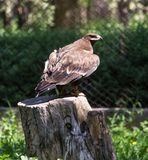 Eagle on the nature Stock Photography