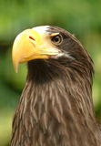 Eagle, 2nd largest species in the world Royalty Free Stock Photos