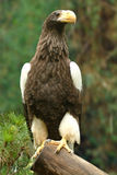 Eagle, 2nd largest species in the world Stock Image