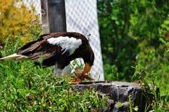 Eagle nel parco di Assiniboine, Winnipeg, Manitoba Fotografia Stock