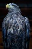 Eagle nel parco russo degli uccelli Immagini Stock