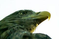 Eagle nel parco russo degli uccelli Fotografie Stock