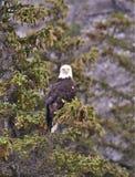Eagle nel pino attillato di punta Fotografie Stock Libere da Diritti