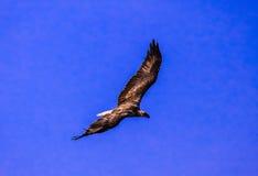 Eagle nella mosca del cielo blu alta con re fiero del cielo Fotografie Stock