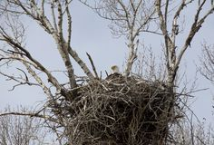Eagle in nest Royalty Free Stock Images
