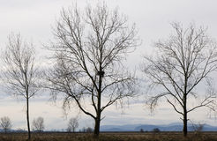 Eagle Nest in Bare Tree. One of a row of bare trees in winter has an eagle nest Royalty Free Stock Photo