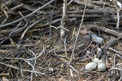 Eagle Nest, closeup. Huge Nest with Eggs Stock Photos