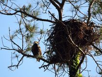 Eagle and nest, St. Augustine, Florida. Eagle and nest perched in tree branch against blue skies in St. Augustine, Florida, USA stock photo