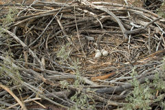 Eagle Nest, whole circle. Huge Nest with Eggs Stock Photography