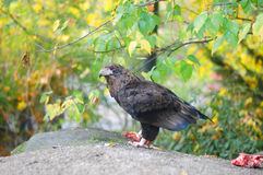 Eagle no jardim zoológico Imagens de Stock Royalty Free