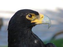 Eagle noir Images libres de droits