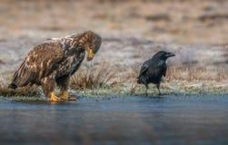 Eagle, nous ne serons pas des amis ! Photos stock