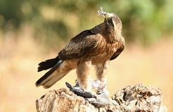 Eagle observes with its prey in the claws Royalty Free Stock Photos