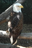 Eagle observing his surroundings stock image