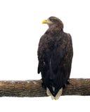Eagle obsiadanie przy gałęziasty i przyglądający z powrotem odosobnionym przy bielem Zdjęcia Royalty Free
